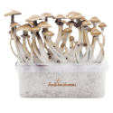 FreshMushrooms® grow kit Golden Teacher
