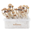 FreshMushrooms® grow kit McKennaii