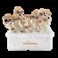 McKennaii XP   Fresh Magic Mushrooms Grow Kit