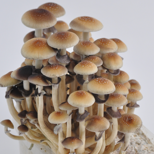 Golden Teacher Psilocybe Cubensis spores