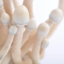 Albino A+ psilocybe cubensis mushrooms