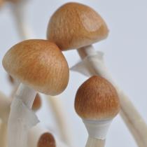 B+ psilocybe cubensis mushrooms