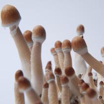 Burma psilocybe cubensis magic mushrooms