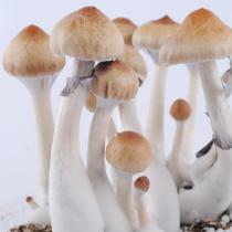Ecuador psilocybe cubensis mushrooms