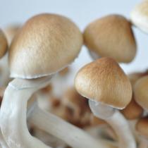 Red Boys 'red spore' psilocybe cubensis mushrooms