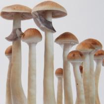 Treasure Coast psilocybe cubensis matured mushrooms