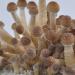 Golden Teacher psilocybe cubensis mushroom pins
