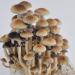 Golden Teacher psilocybe cubensis mushrooms mature
