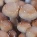 PES Hawaiian  psilocybe cubensis mushrooms