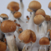 Treasure Coast psilocybe cubensis mushrooms
